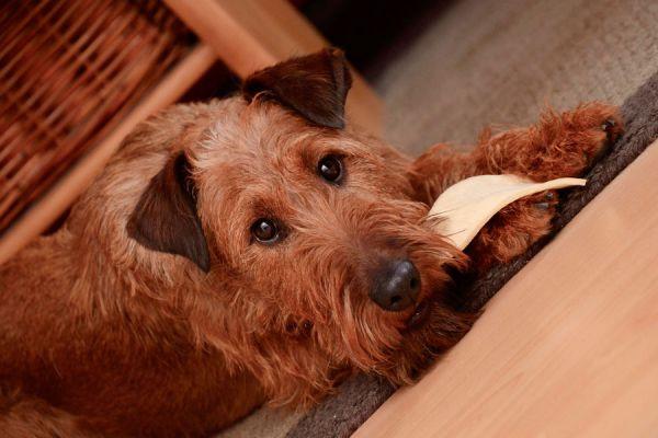 Eliminar el mal aliento de los perros. Cómo cepillar los dientes de los perros. Eliminar el mal aliento en perros. Mejorar la higiene bucal del perro