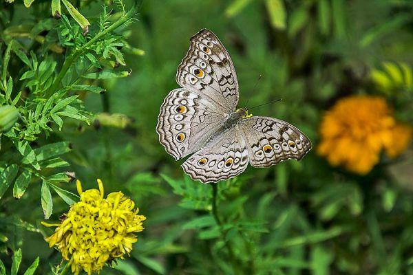 Un cazamariposas ambientalista. Como atraer a las mariposas silvestres. Cómo crear una red para atraer mariposas al jardín sin capturarlas