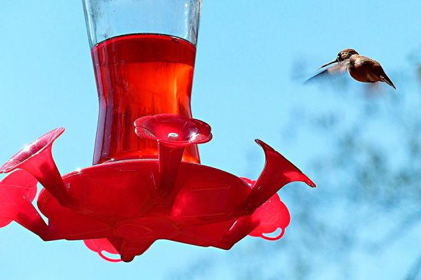 Comida casera para colibríes. Cómo atraer un colibríes al patio de casa.