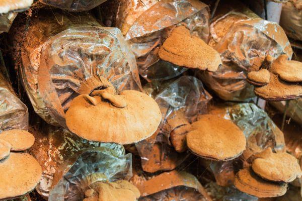 Propiedades del hongo reishi. Ventajas de consumir el hongo ganoderma. Para qué sirve el hongo Ganoderma Lucidum. Beneficios del hongo reishi