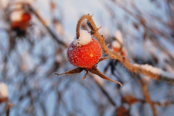 Consejos para cuidar los rosales en invierno. Cómo proteger las rosas del frío. Consejos para cuidar los rosales del frío