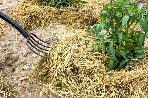 Cómo cuidar las plantas en invierno usando mantillos. Tipos de mantillos para los cultivos en invierno. Cuidar cultivos de invierno con mantillos