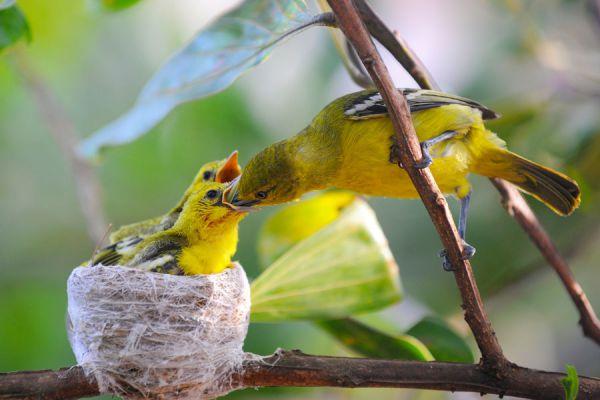 Características de los canarios machos y hembras. 5 tips para saber si el canario es macho o hembra. Claves para saber el sexo del canario