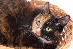 Ilustración de Como cuidar una gata preñada