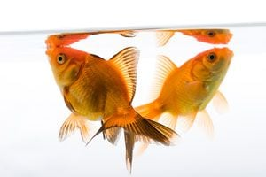 Ilustración de Cómo cuidar los peces dorados o Gold Fish