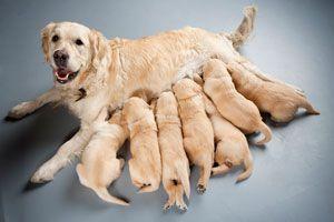 Ilustración de Cómo ayudar a la Perra en el cuidado de los Cachorros Recién Nacidos