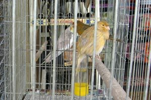 Ilustración de Cómo preparar la jaula de un canario