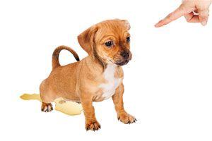 Ilustración de Cómo enseñarle a un Perro a No Orinar dentro de la Casa