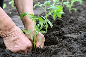 Ilustración de Cómo Elegir los Esquejes o Brotes para Plantar