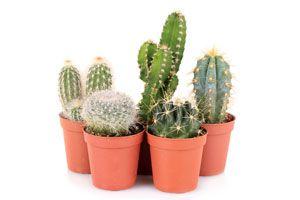 Ilustración de Cómo cuidar los Cactus