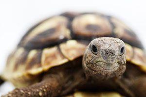Ilustración de Cómo cuidar una Tortuga Terrestre