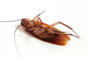 Ilustración de Cómo hacer un Veneno Casero para Cucarachas