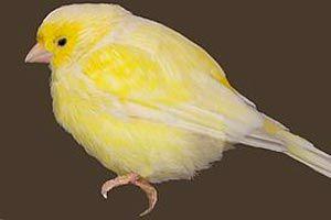 Ilustración de Como tratar los canarios con acariosis