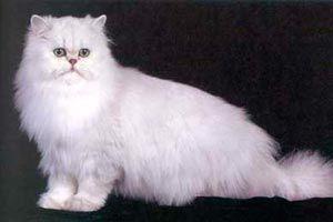 Ilustración de Cómo reconocer a un gato angora turco