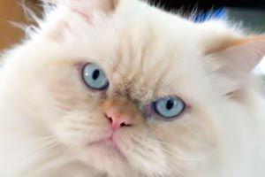 Ilustración de Cómo reconocer a un gato persa
