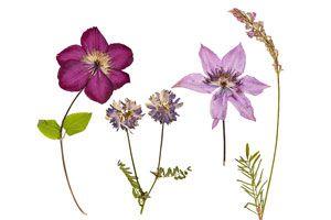 Ilustración de Cómo prensar flores y hojas