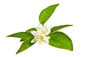 Ilustración de Cómo utilizar las flores azahar