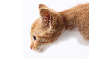 Ilustración de Cómo saber si tu gato es sordo