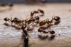 Ilustración de Cómo Eliminar las Hormigas de la Casa