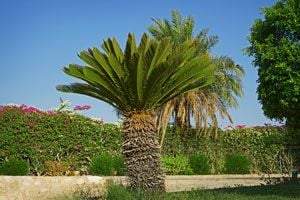 Consejos para abonar y regar la palmera de exterior. Tips para abonar y regar una palmera.