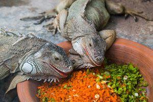 Ilustración de Como tener iguanas de mascota