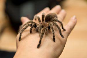 Ilustración de Como tener y cuidar a una araña pollito como mascota