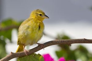 Ilustración de Como cuidar a los canarios hogareños
