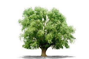 Ilustración de Como elegir los árboles según su forma
