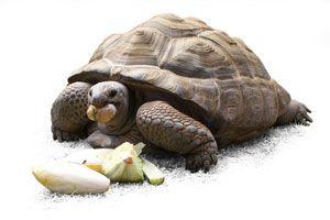 Ilustración de Cómo Alimentar a las Tortugas Terrestres