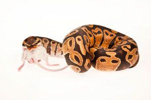 Ilustración de Cómo alimentar a las serpientes