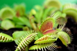 Cuidados de las plantas carnívoras. Cómo cuidar y mantener plantas carnívoras. Alimentación y cuidados de las plantas carnívoras