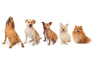 Ilustración de Cómo elegir un Perro