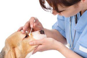 Ilustración de Cómo limpiar los ojos de las mascotas
