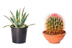 Ilustración de Cómo Cultivar Cactus