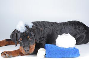 Ilustración de Cómo bañar a nuestra mascota sin mojarla