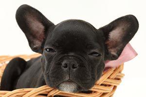 Ilustración de Cómo higienizar las orejas en perros y gatos