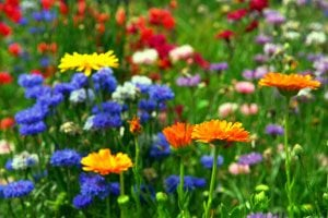 Qué plantas elegir para tener flores en invierno. Plantas con flores para disfrutar durante el invierno. Cómo tener un jardin florido en invierno