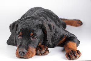 Ilustración de Cómo Cuidar al Perro si Sufre de Piel Seca