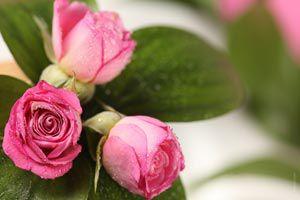 ¡Las rosas son propensas al ataque de pulgones!