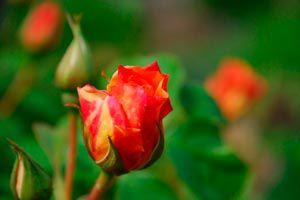 Cómo cuidar algunas flores comunes de jardín
