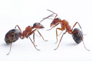 Nunca es bueno tener hormigas en el hogar