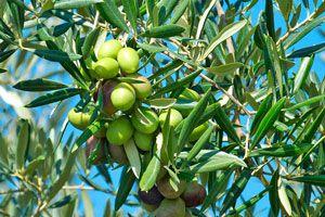 Guía para el cuidado del olivo. Consejos para plantar, regar y cuidar de la planta de olivo. Tips para cultivar un olivo