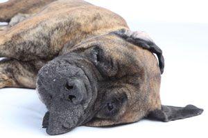 Ilustración de Cómo ayudar al perro a superar la muerte de un familiar