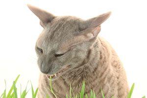 Ilustración de Qué hacer si el gato se queda afónico