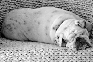 Ilustración de Cómo saber si tu perro tiene sobrepeso