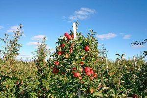 Ilustración de Cómo Cultivar Árboles Frutales