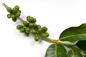 Ilustración de Propiedades del Café Verde