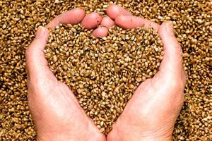 Beneficios de las semillas de cáñamo. Para qué sirven las semillas de cáñamo. Cómo aprovechar los beneficios de las semillas de cáñamo