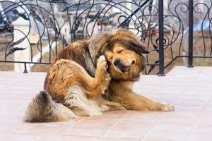 Ilustración de Cómo Saber si tu Perro tiene Sarna