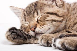 Ilustración de ¿Qué Significa Soñar con Gatos?